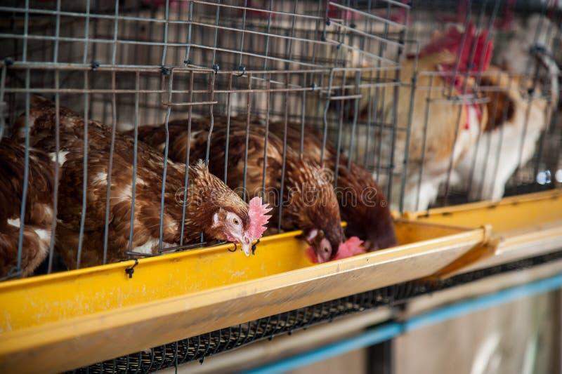 Poulets rouges d'oeufs dans la cage de couche photos stock