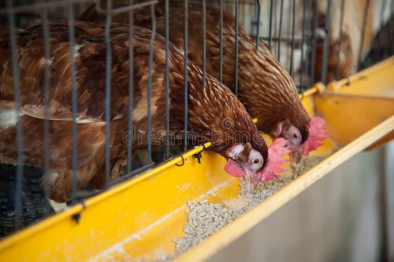 Poulets rouges d'oeufs dans la cage de couche image stock