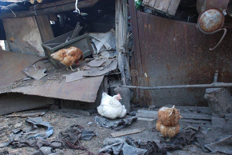 Poulets vivant dans la maison détruite en été photos stock