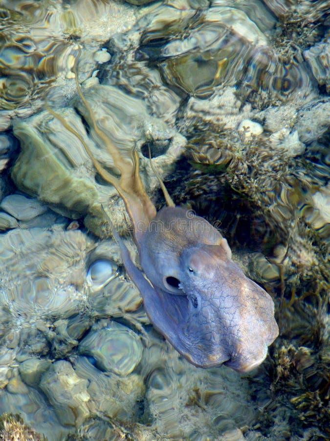 poulpe photo stock