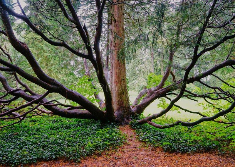 Poulpe comme l'arbre avec les troncs multiples photographie stock libre de droits