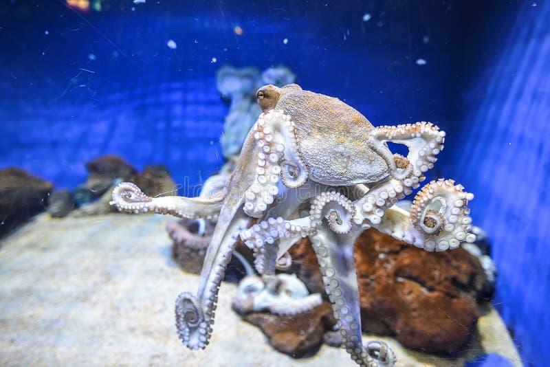 Poulpe dans l'aquarium marin image stock