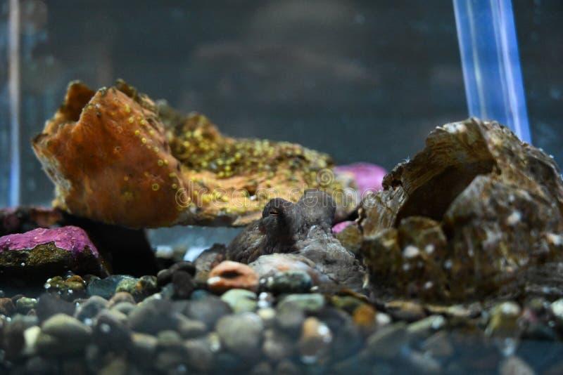 Poulpe de bébé dormant dans l'aquarium rocheux image libre de droits