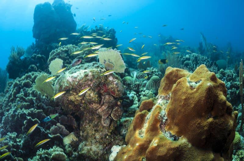 Poulpe de récif coralien image stock