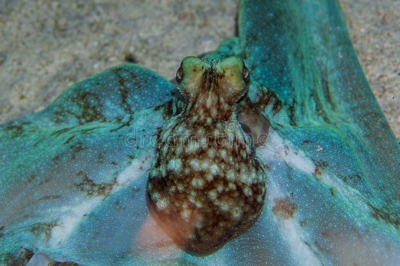 Poulpe des Caraïbes de récif image libre de droits