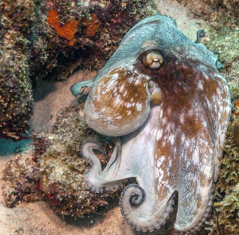 Poulpe des Caraïbes de récif, briareus de poulpe image stock