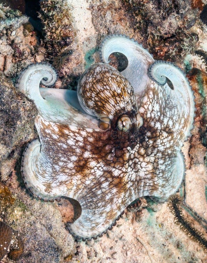 Poulpe des Caraïbes de récif, briareus de poulpe photos libres de droits