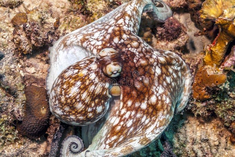 Poulpe des Caraïbes de récif, briareus de poulpe photo libre de droits