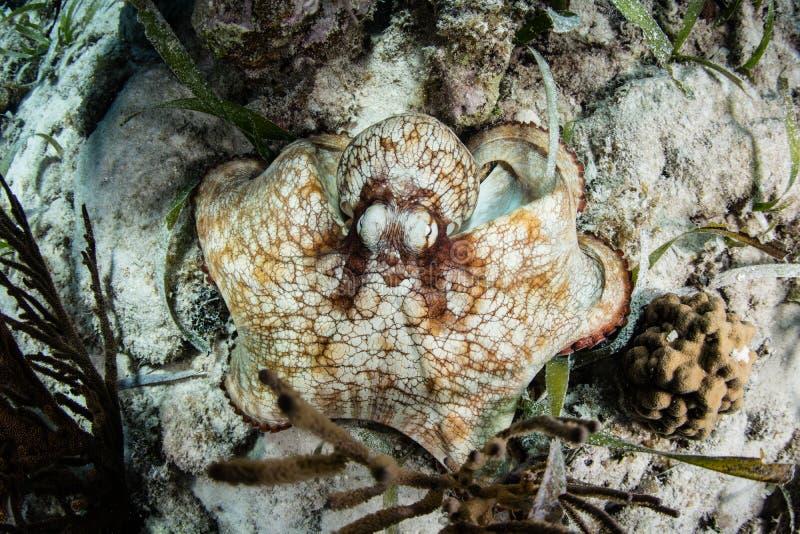 Poulpe des Caraïbes de récif sur le fond sous-marin photo libre de droits