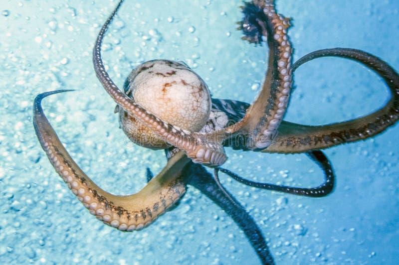 Poulpe fleuri, ornatus de Callistoctopus images libres de droits