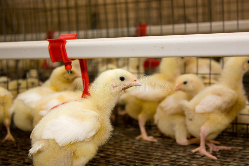 Poultry farm royalty free stock images