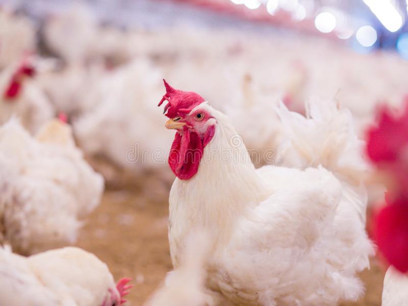 Poultry farm with broiler breeder chicken. Husbandry, housing business for the purpose of farming meat, White chicken Farm feed in indoor housing. Live chicken royalty free stock photography