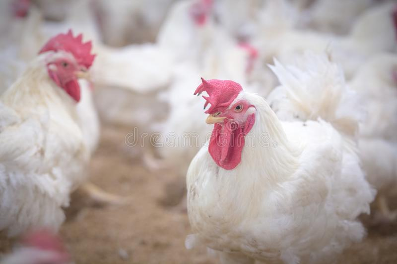 Poultry farm with broiler breeder chicken. Husbandry, housing business for the purpose of farming meat, White chicken Farm feed in indoor housing. Live chicken stock image