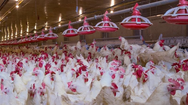 Poultry farm with broiler breeder chicken. Husbandry, housing business for the purpose of farming meat, White chicken Farm feed in indoor housing. Live chicken stock photography