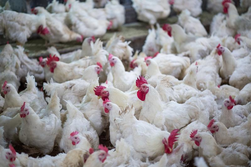 Poultry farm chicken business farm. Poultry farm with chicken. Husbandry, housing business for the purpose of farming meat, White chicken Farming feed in indoor stock image