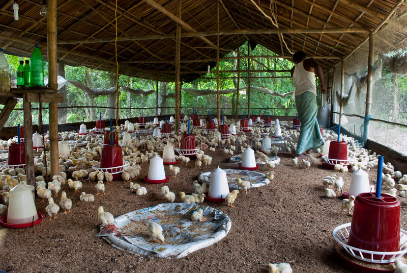 Climate-Smart Poultry Farming Brings Prosperity to Kenya's Smallholders