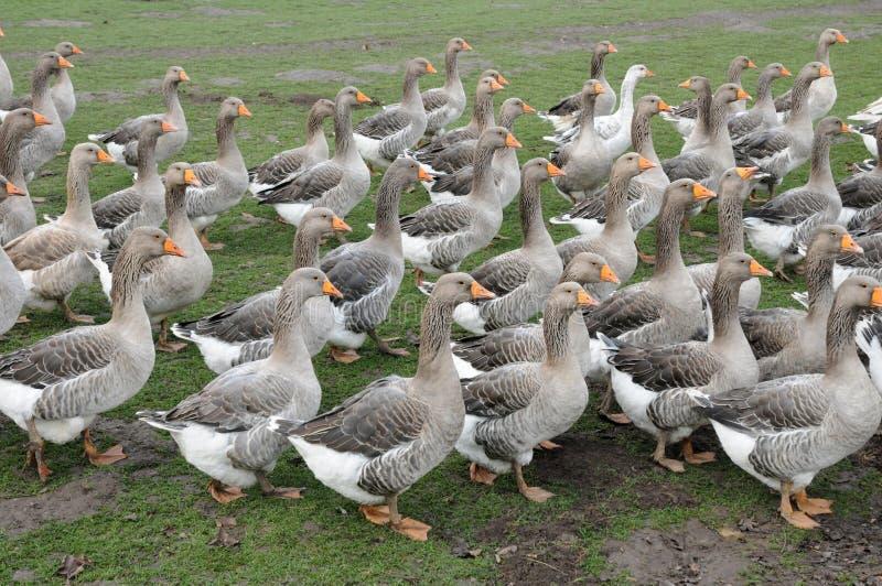 Download Poultry Farming In Brueil En Vexin Stock Photo - Image: 28491584