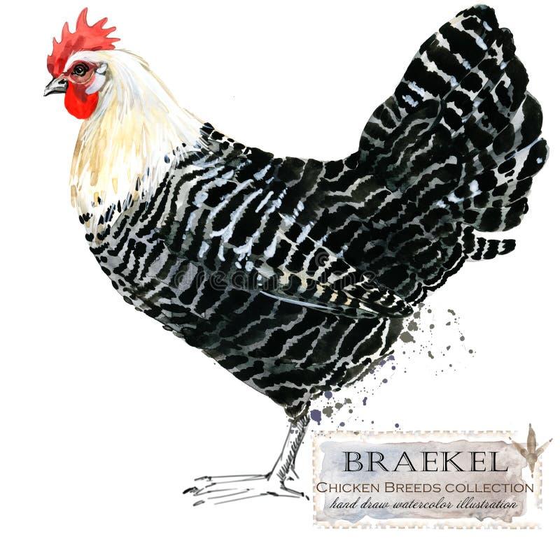 Poultry farming. Chicken breeds series. domestic farm bird. Watercolor illustration stock photos