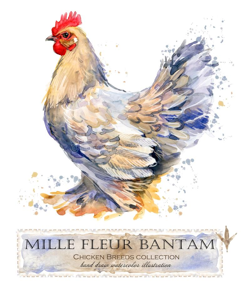 Poultry farming. Chicken breeds series. domestic farm bird stock illustration