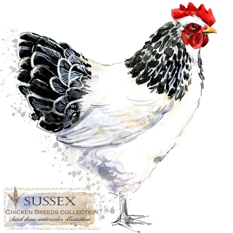 Poultry farming. Chicken breeds series. domestic farm bird vector illustration