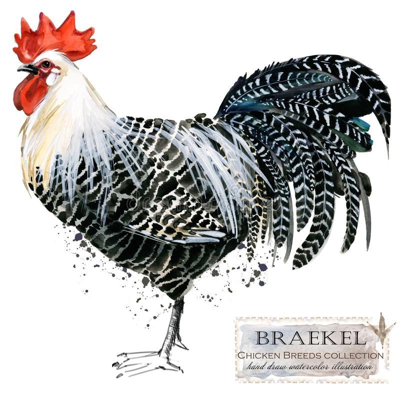 Poultry farming. Chicken breeds series. domestic farm bird. Watercolor illustration royalty free stock photos