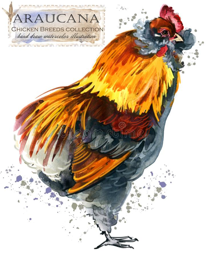 Poultry farming. Chicken breeds series. domestic farm bird. Watercolor illustration royalty free stock photo