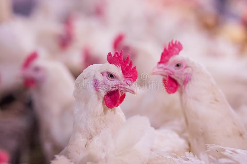 Poultry farming for the purpose of farming meat or eggs for food 2. Poultry farm with chicken. Husbandry, housing business for the purpose of farming meat, White stock images