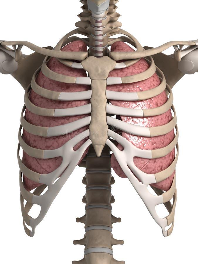 Poumon et thorax illustration stock