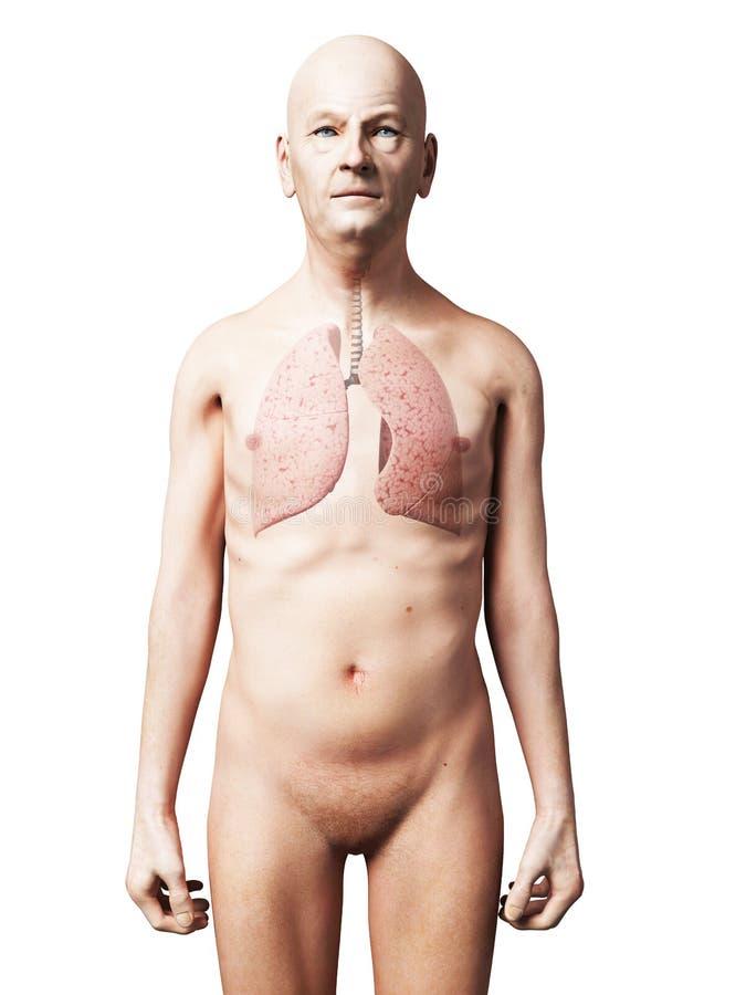 Poumon Masculin Image libre de droits