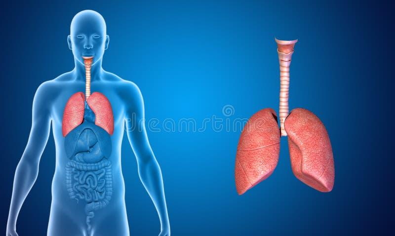 Download Poumons illustration stock. Illustration du isolement - 45367413