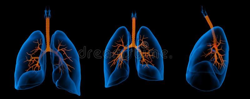 Poumons avec les bronches visibles illustration libre de droits