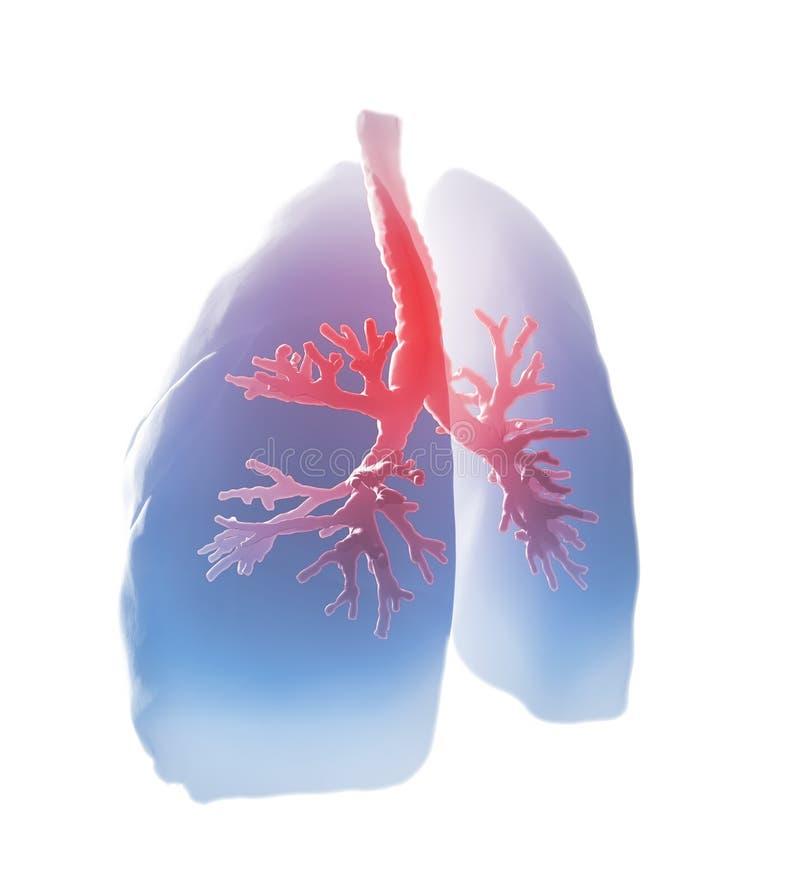 Poumons et bronches illustration de vecteur