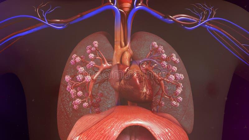 Poumons humains avec le coeur photographie stock