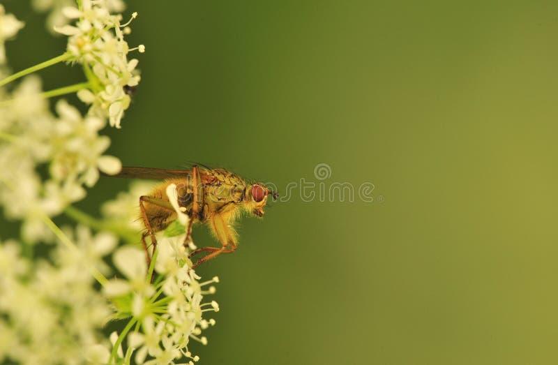 Pouncing fly (Tachina fera)