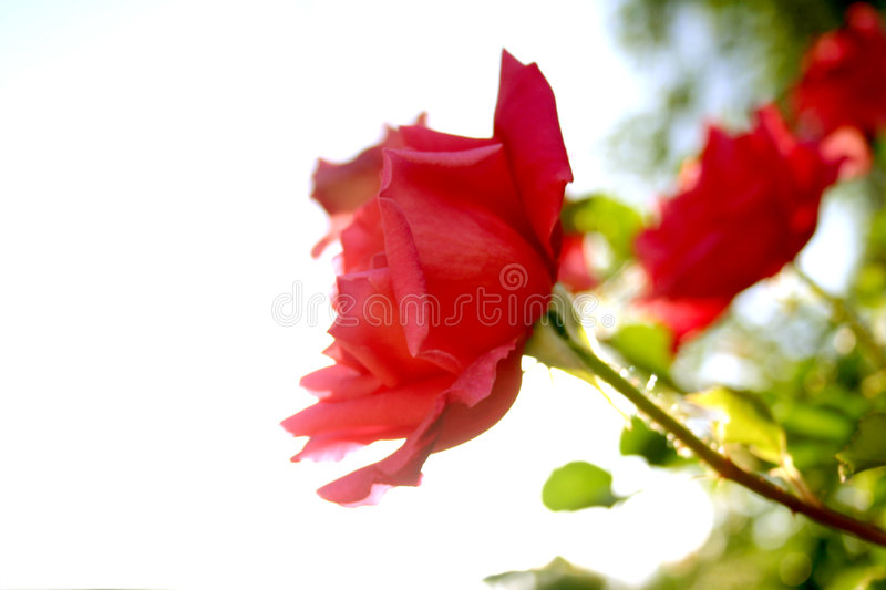 Pour toujours Rose images stock
