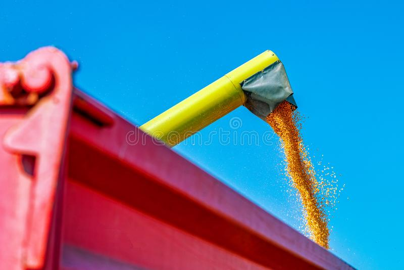 Pouring corn kernels into cart after harvest. Pouring gathered corn kernels into tractor cart after harvest royalty free stock photo