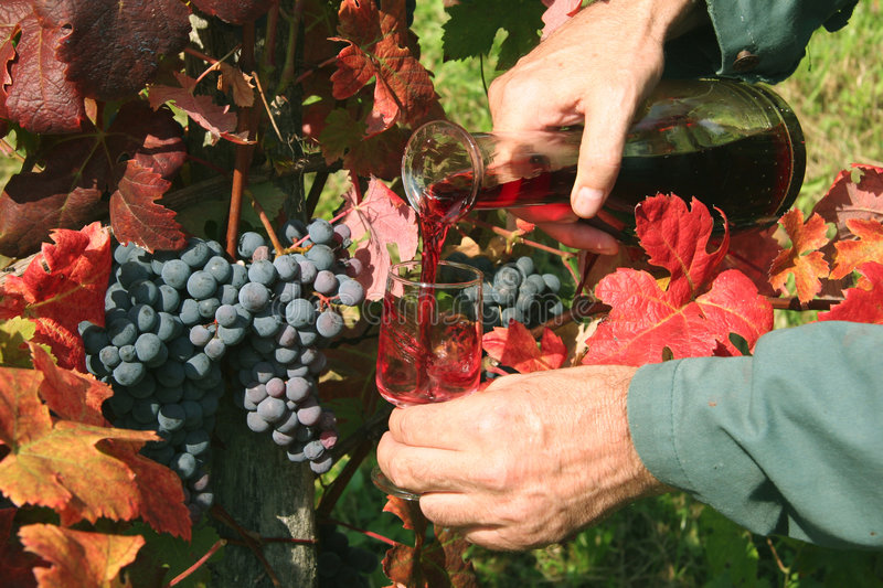 Pouring red wine. In vineyard. Vintage Time. Slovenia royalty free stock photos