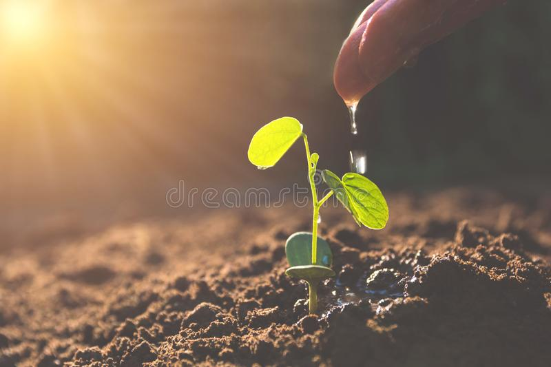 Pouring a young plant from hand. Gardening and watering plants.  stock photo