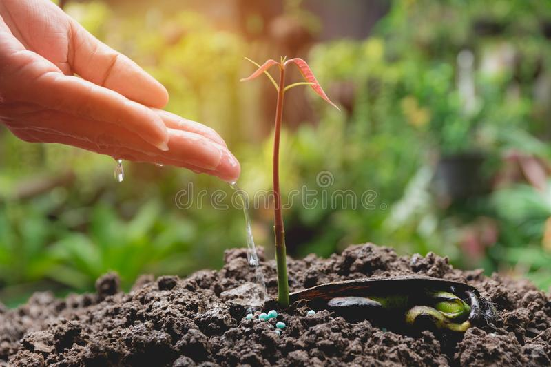 Pouring a young plant from watering can. Gardening and watering. Plants royalty free stock image