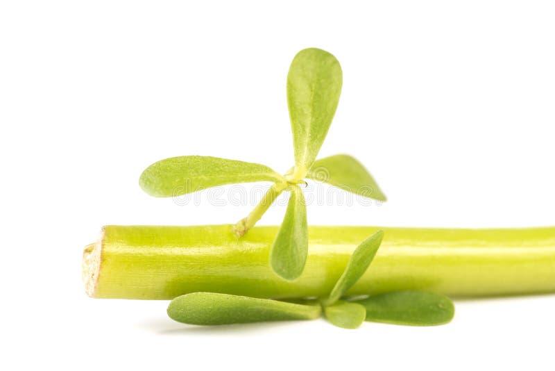 Pourpier vert sain organique avec de petites feuilles photographie stock