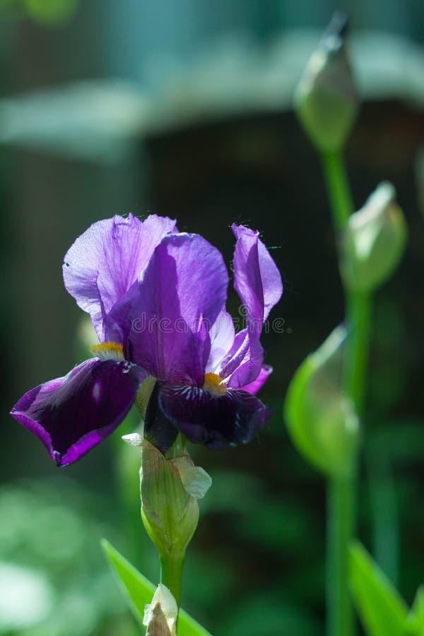 Pourpre d'IRIS dans le jardin photos stock