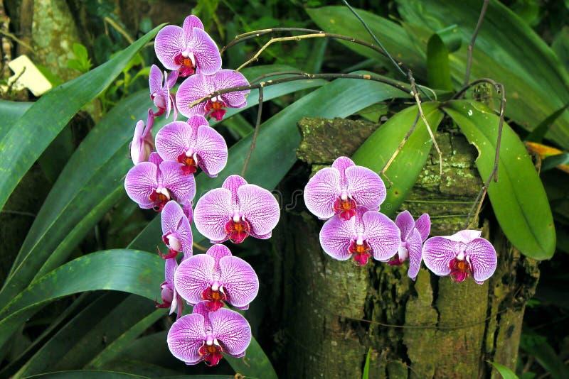 Pourpre d'orchidée sur le jardin photos libres de droits