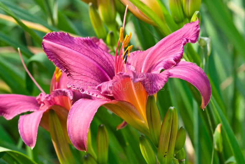 Pourpre daylily images stock