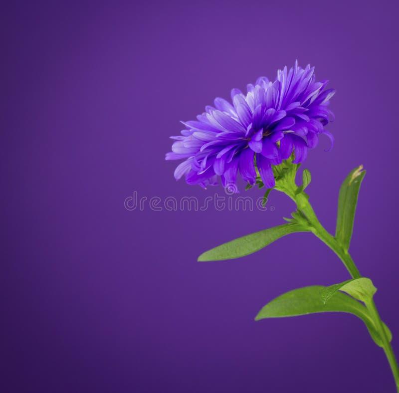 Pourpre de fleur image libre de droits