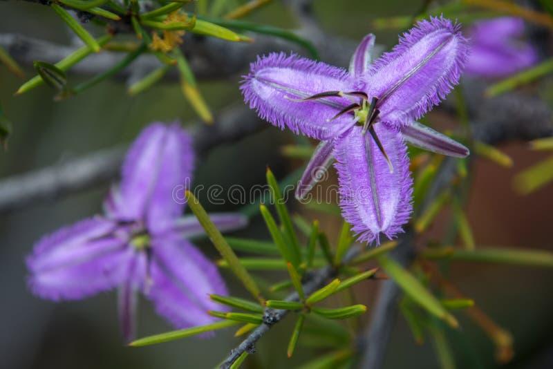 Pourpre de wildflower indigène d'Australie occidentale macro images stock