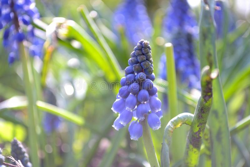 Pourpre Hollandes de fleur de ressort de Muscari photo libre de droits