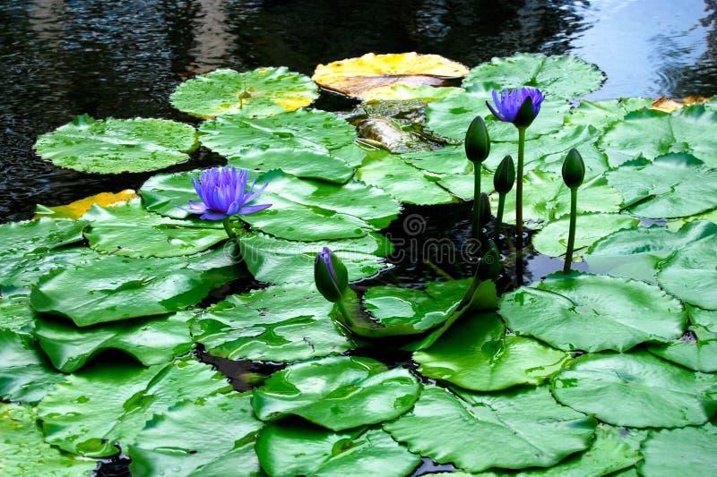 Pourpre waterlily photo stock