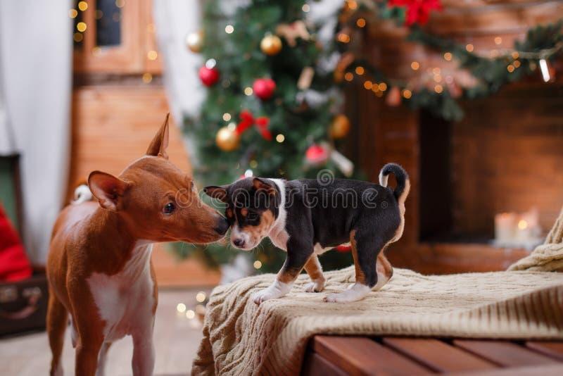 Poursuivez la race Basenji et sa race Basenji de chiot, le Noël et la nouvelle année, fond de studio image libre de droits