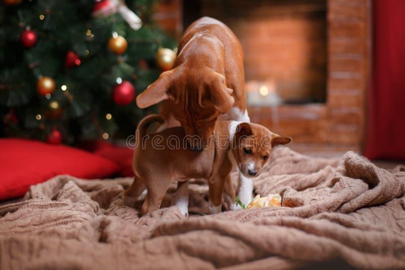 Poursuivez la race Basenji et sa race Basenji de chiot, le Noël et la nouvelle année, fond de studio photo stock