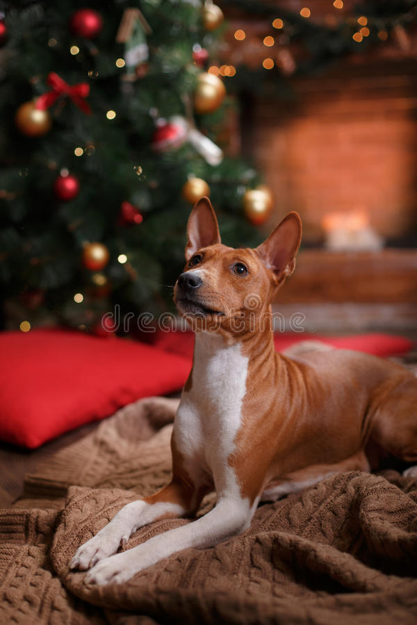 Poursuivez la race Basenji, le Noël et la nouvelle année photos stock